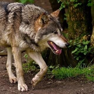 L'ufficio ambiente dice no all'abbattimento di due lupi a Stagias