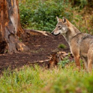 Gestione lupo, incontro tra l'assessore regionale Protopapa e il Comitato Salvaguardia Allevatori dell'Ossola