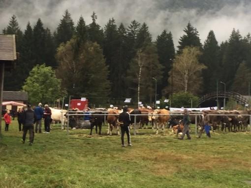 La pioggia non ferma la tradizionale mostra  bovina