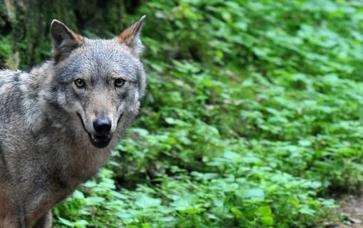 Cresce il numero di esemplari di lupi sull'arco alpino occidentale, come gestirli?