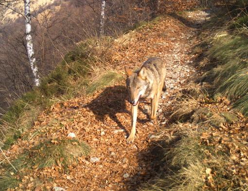 Convivere coi lupi: il VCO partecipa al progetto che coinvolge quattro nazioni