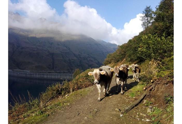 Confagricoltura e Coldiretti chiedono un piano per sostenere gli allevamenti bovini